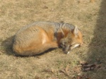 sunbathing fox
